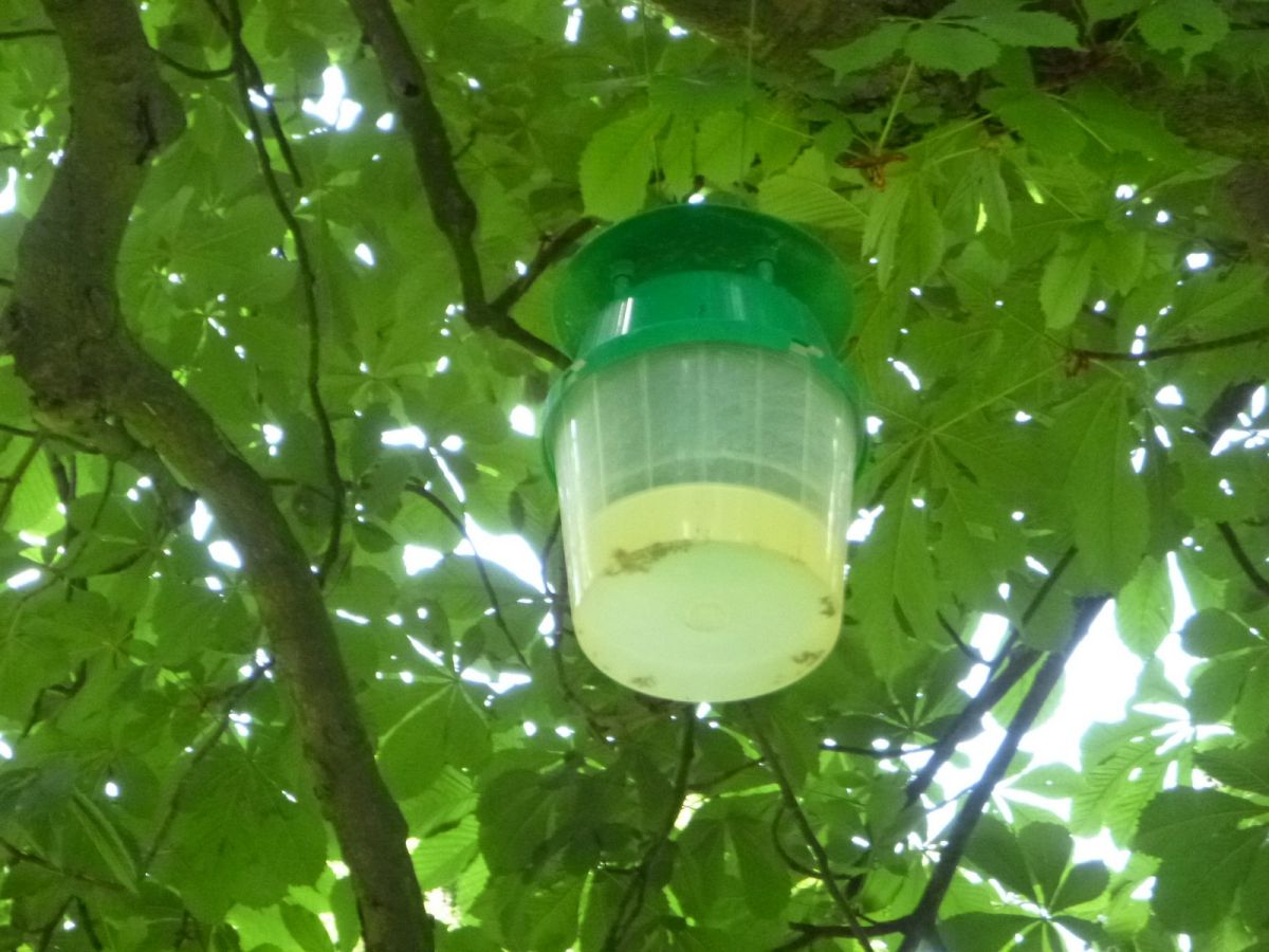 A leafminer trap in a horse chestnut
